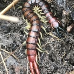 Cormocephalus aurantiipes (Orange-legged Centipede) at Bruce, ACT - 27 Jul 2021 by Tapirlord