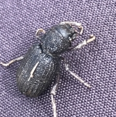 Amycterus abnormis (TBC) at Bruce, ACT - 27 Jul 2021 by Tapirlord