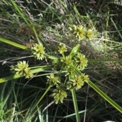 Cyperus eragrostis (Umbrella Sedge) at Bruce, ACT - 11 Apr 2021 by michaelb