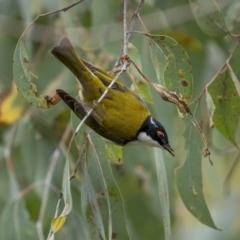 Melithreptus lunatus (TBC) at Kambah, ACT - 24 Jul 2021 by trevsci