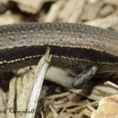 Lampropholis guichenoti (Common Garden Skink) at Blue Mountains National Park, NSW - 24 Feb 2018 by PatrickCampbell
