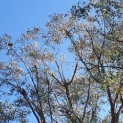 Callocephalon fimbriatum (Gang-gang Cockatoo) at Stromlo, ACT - 30 Jul 2021 by HannahWindley