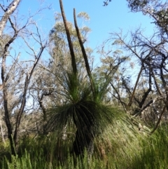 Xanthorrhoea australis (TBC) at suppressed - 21 Jul 2021 by MatthewFrawley