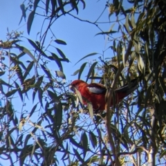 Platycercus elegans (TBC) at suppressed - 2 Aug 2021 by Darcy