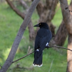 Strepera graculina (TBC) at suppressed - 2 Aug 2021 by Darcy
