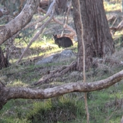 Wallabia bicolor (TBC) at suppressed - 2 Aug 2021 by Darcy