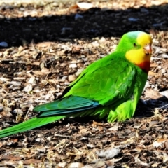 Polytelis swainsonii (Superb Parrot) at Wanniassa, ACT - 2 Aug 2021 by JohnBundock