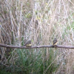 Acanthiza reguloides (TBC) at suppressed - 2 Aug 2021 by Darcy