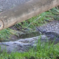 Rhipidura albiscapa (TBC) at suppressed - 2 Aug 2021 by Darcy