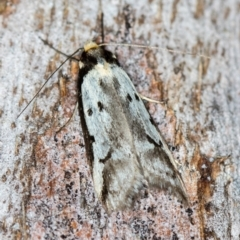 Unidentified Moth (Lepidoptera) (TBC) at Paddys River, ACT - 11 Nov 2018 by Bron