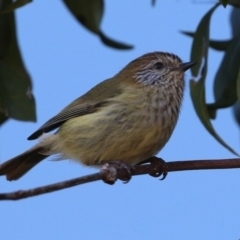 Acanthiza lineata (TBC) at Acton, ACT - 2 Aug 2021 by RodDeb