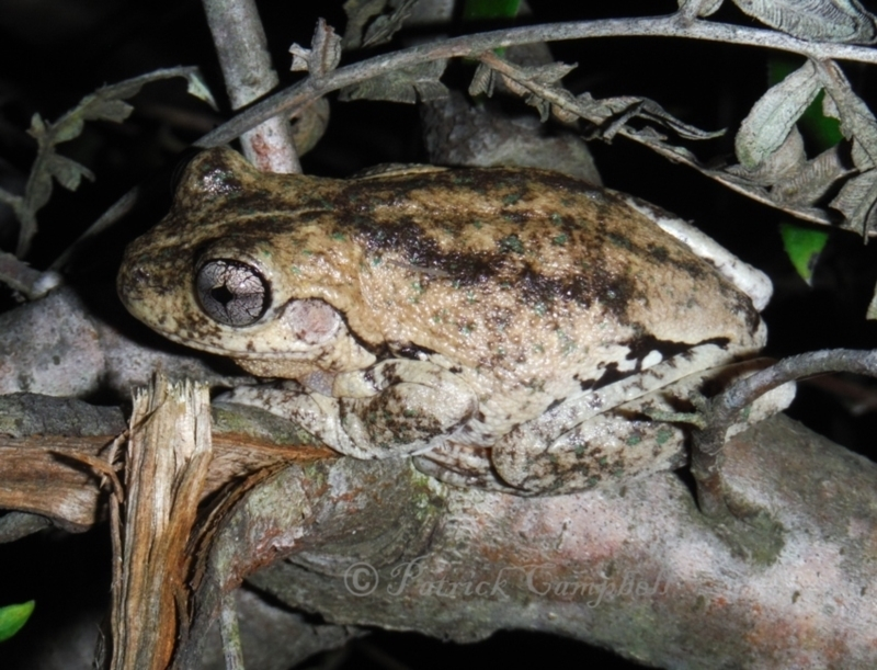 Litoria peronii at suppressed - 19 May 2014