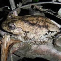 Litoria peronii (Peron's Tree Frog, Emerald Spotted Tree Frog) at Blue Mountains National Park, NSW - 18 May 2014 by PatrickCampbell