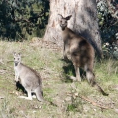 Macropus giganteus (Eastern Grey Kangaroo) at East Albury, NSW - 2 Aug 2021 by PaulF
