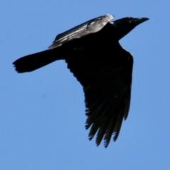 Corvus coronoides (Australian Raven) at East Albury, NSW - 2 Aug 2021 by PaulF