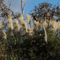 Cortaderia selloana (Pampas Grass) at Bruce, ACT - 11 Apr 2021 by michaelb