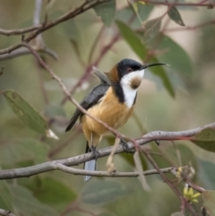 Acanthorhynchus tenuirostris (Eastern Spinebill) at Paddys River, ACT - 31 Jul 2021 by trevsci