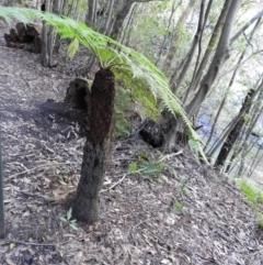 Cyathea australis (Rough tree fern) at Bundanoon, NSW - 21 Jul 2021 by MatthewFrawley