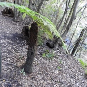 Cyathea australis (Rough tree fern) at Bundanoon, NSW by MatthewFrawley