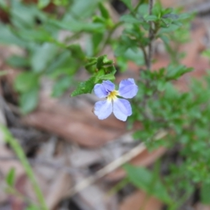 Dampiera stricta (Blue Dampiera) at Bundanoon, NSW by MatthewFrawley