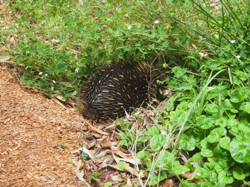 Tachyglossus aculeatus at Bowral, NSW - 27 Nov 2015
