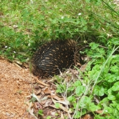 Tachyglossus aculeatus (Short-beaked Echidna) at Bowral, NSW - 27 Nov 2015 by Piggle