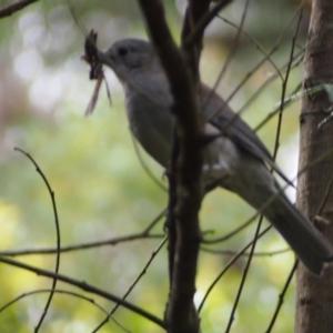 Colluricincla harmonica (Grey Shrikethrush) at Bowral, NSW by Piggle