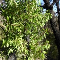 Persoonia levis (Broad-leaved Geebung) at Bundanoon, NSW - 21 Jul 2021 by MatthewFrawley