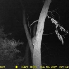 Trichosurus vulpecula (Common Brushtail Possum) at Huon Creek, VIC - 16 Apr 2021 by DMeco