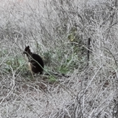 Wallabia bicolor (Swamp Wallaby) at Jerrabomberra, ACT - 29 Jul 2021 by Mike