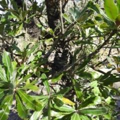 Banksia serrata (Saw Banksia) at Bundanoon, NSW - 21 Jul 2021 by MatthewFrawley