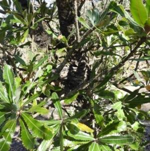 Banksia serrata (Saw Banksia) at Bundanoon, NSW by MatthewFrawley
