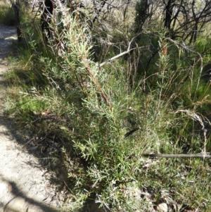 Lambertia formosa at Bundanoon, NSW - 21 Jul 2021