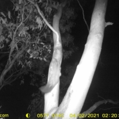 Petaurus norfolcensis (Squirrel Glider) at Bandiana, VIC - 25 Mar 2021 by DMeco