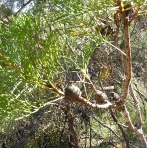 Isopogon anethifolius at Bundanoon, NSW - 21 Jul 2021