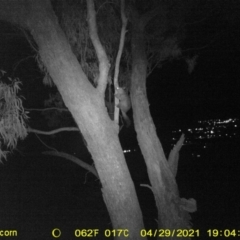 Trichosurus vulpecula (Common Brushtail Possum) at Bandiana, VIC - 29 Apr 2021 by DMeco