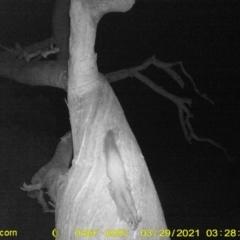 Petaurus norfolcensis (Squirrel Glider) at Baranduda, VIC - 28 Mar 2021 by DMeco