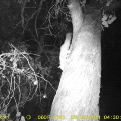 Petaurus norfolcensis (Squirrel Glider) at Monitoring Site 121 - Road - 23 Mar 2021 by DMeco