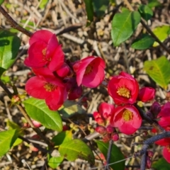 Chaenomeles speciosa (Flowering Quince) at Isaacs, ACT - 29 Jul 2021 by Mike