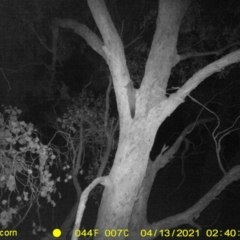 Petaurus norfolcensis (TBC) at Wodonga, VIC - 12 Apr 2021 by DMeco