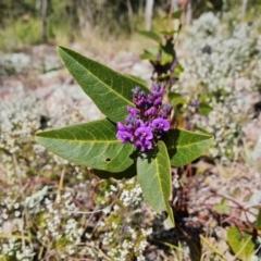Hardenbergia violacea (False Sarsaparilla) at Isaacs, ACT - 30 Jul 2021 by Mike
