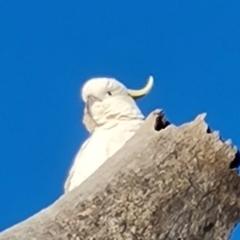 Cacatua galerita (Sulphur-crested Cockatoo) at Isaacs, ACT - 29 Jul 2021 by Mike
