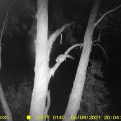 Petaurus norfolcensis (Squirrel Glider) at Baranduda, VIC - 9 May 2021 by DMeco