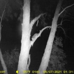 Pseudocheirus peregrinus (Common Ringtail Possum) at Baranduda, VIC - 6 May 2021 by DMeco