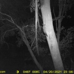 Petaurus norfolcensis (Squirrel Glider) at Baranduda, VIC - 20 Apr 2021 by DMeco