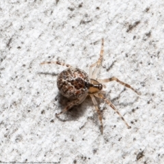 Cryptachaea veruculata (Diamondback comb-footed spider) at Latham, ACT - 2 Aug 2021 by Roger