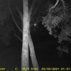 Petaurus norfolcensis (Squirrel Glider) at Baranduda, VIC - 29 Mar 2021 by DMeco