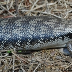 Tiliqua scincoides scincoides (Eastern Blue-tongue) at Wentworth Falls, NSW - 16 Nov 2007 by PatrickCampbell