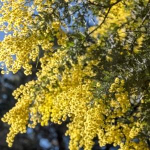 Acacia baileyana (Cootamundra Wattle, Golden Mimosa) at Penrose, NSW by Aussiegall