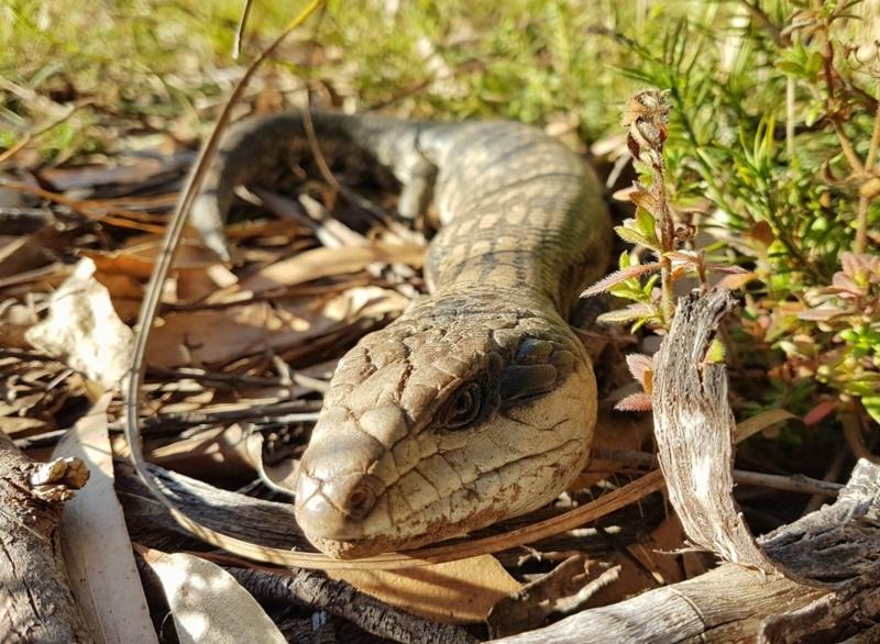 Tiliqua scincoides scincoides at Penrose, NSW - 15 Jul 2021